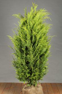 Gele Californische Cipres Kluit 125-150 cm Extra kwaliteit Kluit