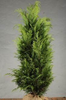 Gele Californische Cipres Kluit 150-175 cm Kluit