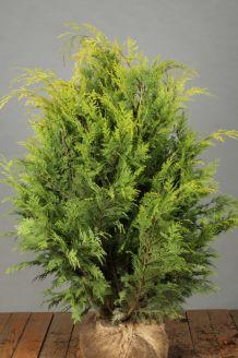 Gele Californische Cipres Kluit 80-100 cm Exta kwaliteit Kluit