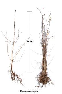 Meidoorn Blote wortel 80-100 cm Blote wortel