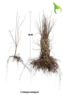 Meidoorn Blote wortel 40-60 cm Blote wortel