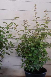 Meidoorn Pot (60-80 cm) Pot