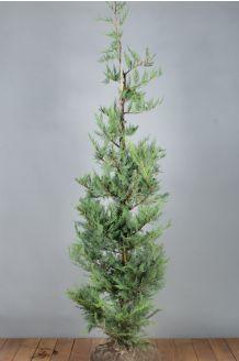 Leylandii coniferen Kluit 150-175 cm Kluit