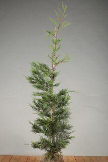 Leylandii coniferen Kluit 125-150 cm Kluit