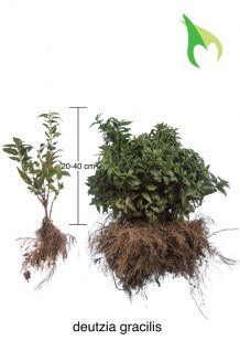 Bruidsbloem Blote wortel 20-40 cm Blote wortel