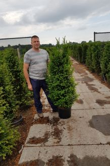 Taxus Baccata (150-175 cm) Extra kwaliteit Pot