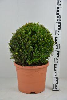 Taxus Baccata bol (30 cm) Pot