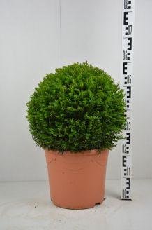 Taxus Baccata bol (40 cm) Pot