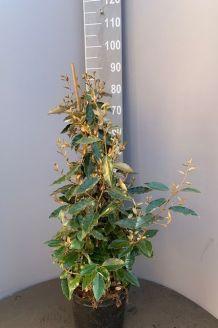 Olijfwilg Pot 80-100 cm Pot
