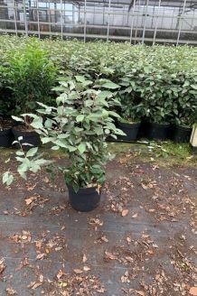 Olijfwilg Pot 60-80 cm Pot
