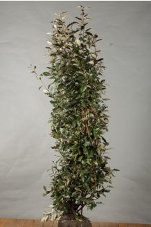Olijfwilg Kluit 175-200 cm Kluit