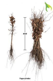 Groene beuk Blote wortel 40-60 cm Blote wortel