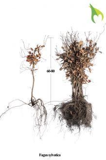 Groene beuk Blote wortel 60-80 cm Blote wortel