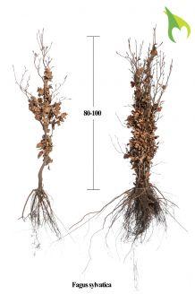 Groene beuk Blote wortel 80-100 cm Extra kwaliteit Blote wortel