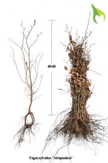 Rode Beuk Blote wortel 40-60 cm Blote wortel
