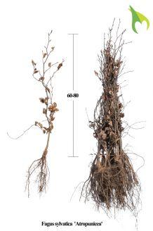 Rode Beuk Blote wortel 60-80 cm Blote wortel