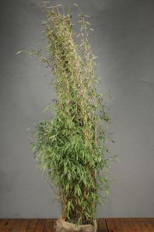 Bamboe Kluit 200-225 cm Kluit