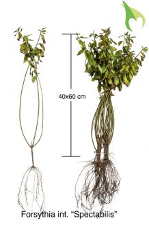Chinees Klokje Blote wortel 40-60 cm Blote wortel