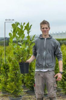 Laurier 'Rotundifolia' Pot 60-80 cm Pot