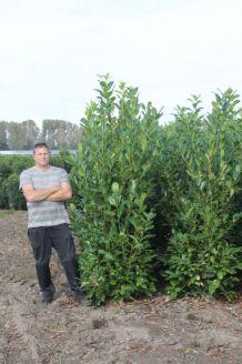 Laurier 'Rotundifolia' Kluit 200-225 cm Kluit