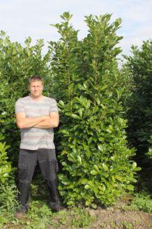 Laurier 'Rotundifolia' Kluit 225-250 cm Extra kwaliteit Kluit