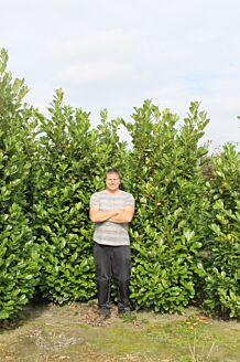 Laurier 'Rotundifolia' Kluit 250-275 cm Extra kwaliteit Kluit