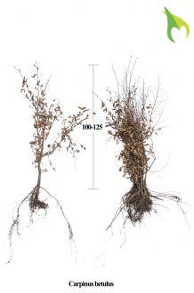 Haagbeuk Blote wortel 100-125 cm Extra kwaliteit Blote wortel