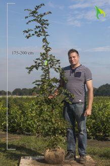 Haagbeuk Kluit 175-200 cm Kluit