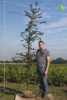 Haagbeuk Kluit 200-225 cm Kluit