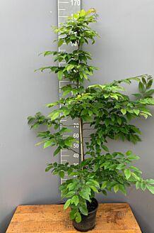 Haagbeuk Pot 150-175 cm Pot