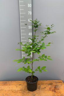 Haagbeuk Pot 40-60 cm Pot