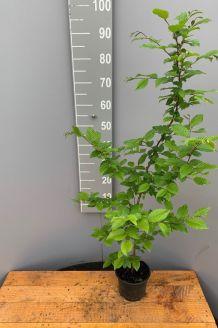 Haagbeuk Pot 80-100 cm Pot