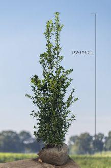 Hulst 'Heckenfee' Kluit 150-175 cm Kluit