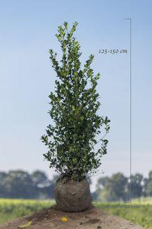 Hulst 'Heckenfee' Kluit 125-150 cm Kluit