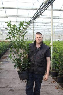 Laurier 'Caucasica' Pot 100-125 cm Pot