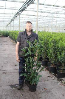 Laurier 'Caucasica' Pot 80-100 cm Pot