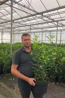 Laurier 'Genolia' Pot 80-100 cm Pot