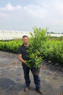Laurier 'Herbergii' Pot 100-125 cm Pot