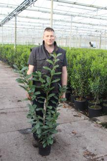 Laurier 'Novita' Pot 100-125 cm Pot