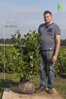 Laurier 'Rotundifolia' Kluit 80-100 cm Kluit