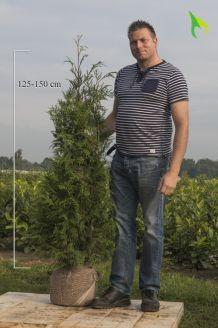 Levensboom 'Atrovirens' Kluit 125-150 cm Extra kwaliteit Kluit