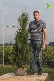 Levensboom 'Atrovirens' Kluit 150-175 cm Extra kwaliteit Kluit