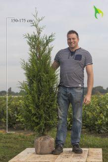 Levensboom 'Atrovirens' Kluit 175-200 cm Extra kwaliteit Kluit