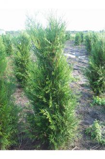 Levensboom 'Atrovirens' Kluit 200-225 cm Extra kwaliteit Kluit
