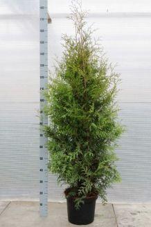 Levensboom 'Brabant' Pot 125-150 cm Pot