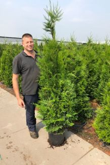 Levensboom 'Brabant' Pot 175-200 cm Pot