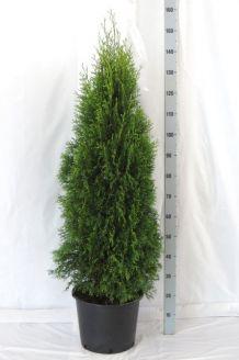 Levensboom 'Smaragd' Pot 125-150 cm Pot