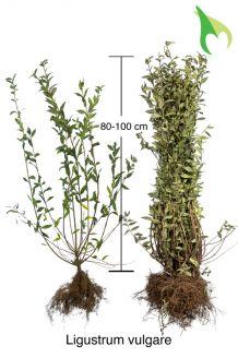 Gewone Liguster Blote wortel 80-100 cm Blote wortel