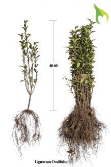 Haagliguster Blote wortel 40-60 cm Blote wortel