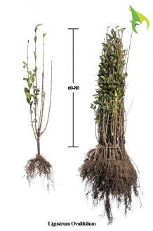 Haagliguster Blote wortel 60-80 cm Blote wortel